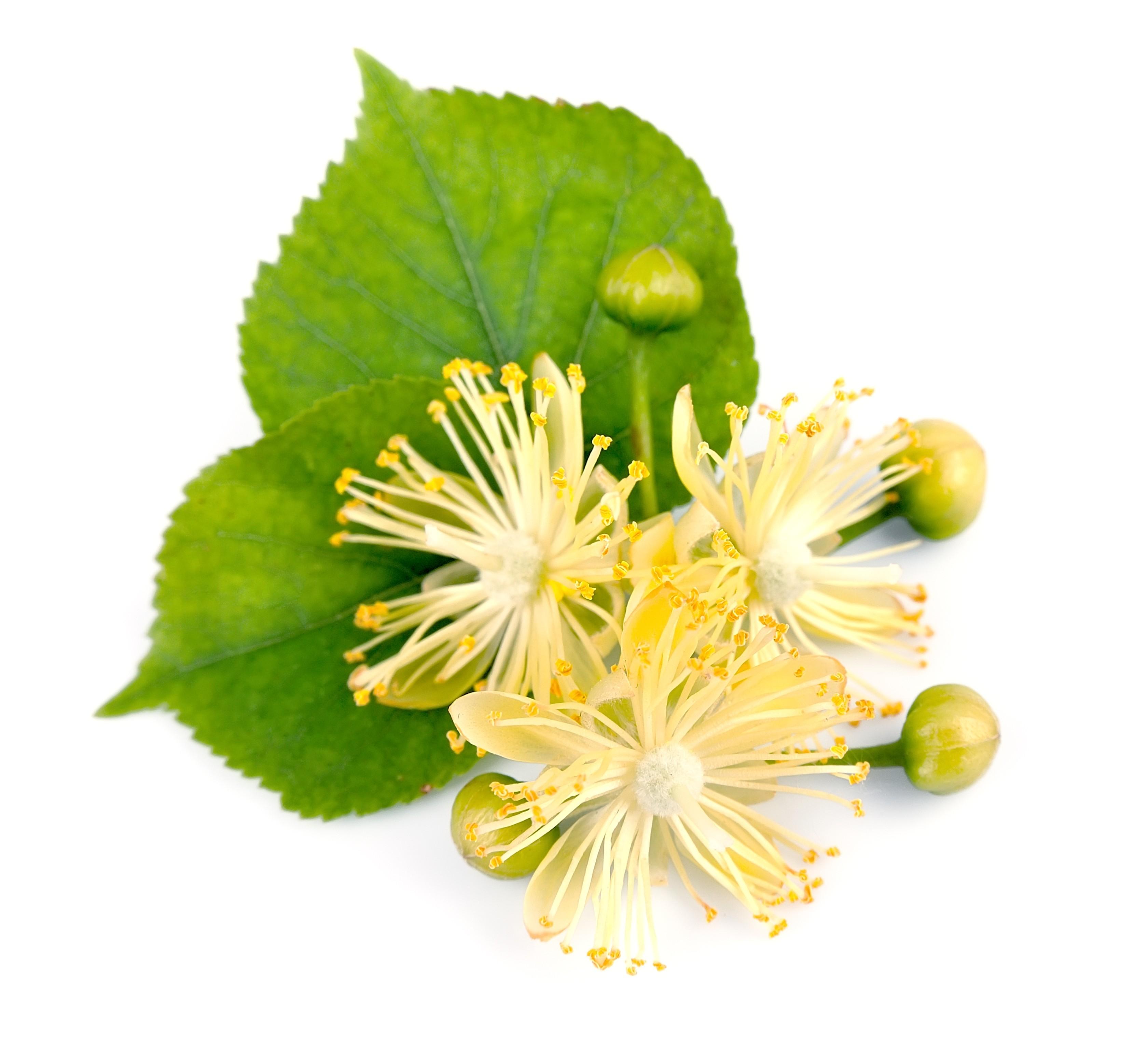 Fleur de Tilleul